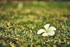 Frangipani ή πτώση λουλουδιών Plumeria στον τομέα χλόης στοκ εικόνες