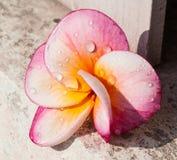 Frangipani ή ρόδινα λουλούδια Στοκ φωτογραφία με δικαίωμα ελεύθερης χρήσης