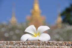 Frangipani ή plumeria λουλουδιών Στοκ Εικόνες