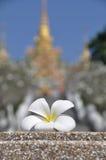 Frangipani ή plumeria λουλουδιών Στοκ φωτογραφία με δικαίωμα ελεύθερης χρήσης