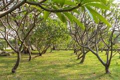 Frangipani δέντρων Plumeria Στοκ φωτογραφία με δικαίωμα ελεύθερης χρήσης