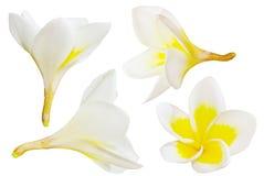 frangipani λουλουδιών αρώματος που απομονώνεται Στοκ Εικόνες