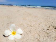 Frangipani, λουλούδι plumeria στην άμμο Άσπρο λουλούδι στην παραλία και θάλασσα με το υπόβαθρο μπλε ουρανού Έννοια θερινού χρόνου Στοκ φωτογραφία με δικαίωμα ελεύθερης χρήσης
