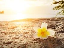 Frangipani, λουλούδι Plumeria στο πάτωμα με το υπόβαθρο ηλιοβασιλέματος Στοκ φωτογραφίες με δικαίωμα ελεύθερης χρήσης
