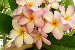 Frangipani με τα όμορφα λουλούδια Στοκ Φωτογραφία