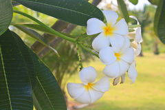 frangipani λουλουδιών κλάδων τροπικό Στοκ εικόνες με δικαίωμα ελεύθερης χρήσης