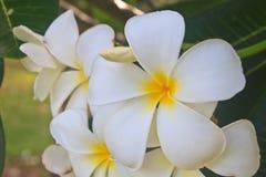 frangipani λουλουδιών κλάδων τροπικό Στοκ Εικόνες
