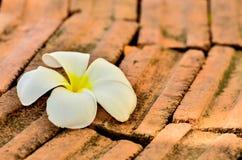 frangipani λουλουδιών τροπικό Στοκ Εικόνα
