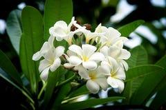 frangipani λουλουδιών τροπικό Στοκ Φωτογραφίες