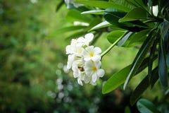 frangipani λουλουδιών τροπικό Στοκ φωτογραφία με δικαίωμα ελεύθερης χρήσης