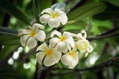 frangipani λουλουδιών τροπικό Στοκ εικόνες με δικαίωμα ελεύθερης χρήσης