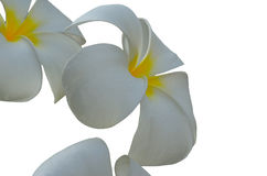 frangipani λουλουδιών τροπικό Στοκ φωτογραφίες με δικαίωμα ελεύθερης χρήσης
