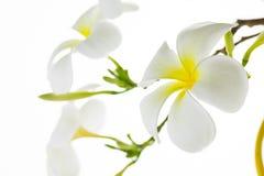 frangipani λουλουδιών τροπικό Στοκ εικόνα με δικαίωμα ελεύθερης χρήσης