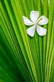 frangipani λουλουδιών Στοκ εικόνα με δικαίωμα ελεύθερης χρήσης