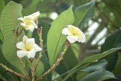 frangipani λουλουδιών Στοκ εικόνες με δικαίωμα ελεύθερης χρήσης