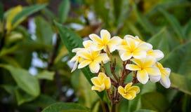 frangipani λουλουδιών στοκ εικόνες