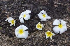 frangipani λουλουδιών Στοκ φωτογραφία με δικαίωμα ελεύθερης χρήσης