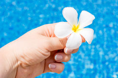 Frangipani λουλουδιών Plumeria στη λίμνη νερού Στοκ φωτογραφίες με δικαίωμα ελεύθερης χρήσης