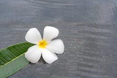 Frangipani λουλουδιών Plumeria στη λίμνη νερού Στοκ Εικόνες