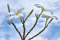 Frangipani - λουλούδι plumeria Στοκ Εικόνα