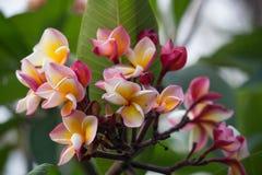 Frangipani, λουλούδι Plumeria Στοκ εικόνα με δικαίωμα ελεύθερης χρήσης