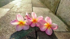 Frangipani στην οδό στοκ φωτογραφία
