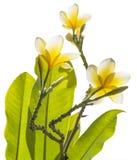 Frangipani στο δέντρο plumeria, τροπικά λουλούδια frangipani Άσπρο frangipani στο δέντρο frangipani με το ηλιοβασίλεμα Στοκ φωτογραφίες με δικαίωμα ελεύθερης χρήσης