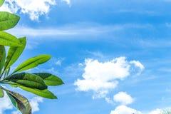 Frangipani, τροπικές εγκαταστάσεις δέντρων στον κήπο, δέντρο ναών, lantom ή δέντρο leelawadee, plumeria Τροπικό νησί του Μπαλί Στοκ φωτογραφία με δικαίωμα ελεύθερης χρήσης