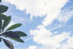 Frangipani, τροπικές εγκαταστάσεις δέντρων στον κήπο, δέντρο ναών, lantom ή δέντρο leelawadee, plumeria Τροπικό νησί του Μπαλί Στοκ εικόνα με δικαίωμα ελεύθερης χρήσης