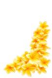 frangipani граници угловойой Стоковые Изображения RF