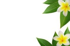frangipani граници Стоковое Изображение