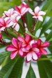 frangipani крупного плана Стоковое Изображение RF