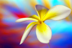 frangipani предпосылки стоковое изображение rf