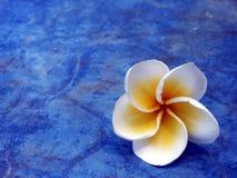 frangipani предпосылки Стоковые Изображения RF