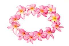 frangipani рамки Стоковое Изображение