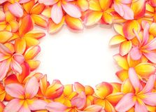 frangipani рамки Стоковая Фотография