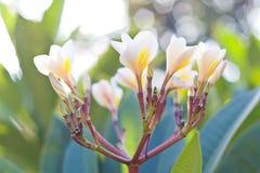 Frangipani цветет белизна и желтый цвет plumeria цветене на дереве Стоковые Фотографии RF