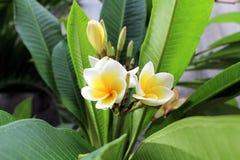 Frangipani цветет дерево, цветок plumeria белый и желтый с листьями Стоковое Фото