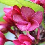 Frangipani цветка макроса стоковые изображения rf