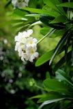 frangipani цветка тропический Стоковое фото RF