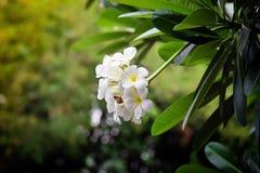 frangipani цветка тропический Стоковые Изображения