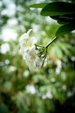 frangipani цветка тропический Стоковое Фото