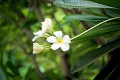 frangipani цветка тропический Стоковая Фотография