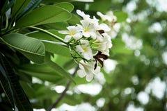 frangipani цветка тропический Стоковые Изображения RF