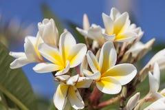 Frangipani (цветки plumeria) стоковые фото