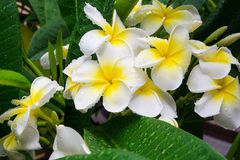 Frangipani, цветок Plumeria Стоковое Фото