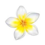 Frangipani. Vector illustration of an exotic frangipani flower isolated on white Stock Photos
