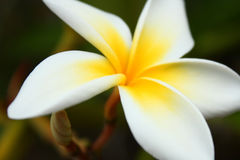 Frangipani. Picture of a blooming Plumeria, also known as Frangipani stock photo