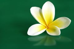 Frangipani. Single frangipani (plumeria) flower against glossy green background stock photography