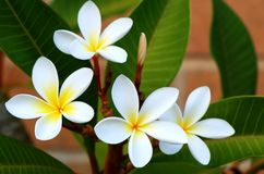 Frangipani. White and yellow frangipani (plumeria royalty free stock images
